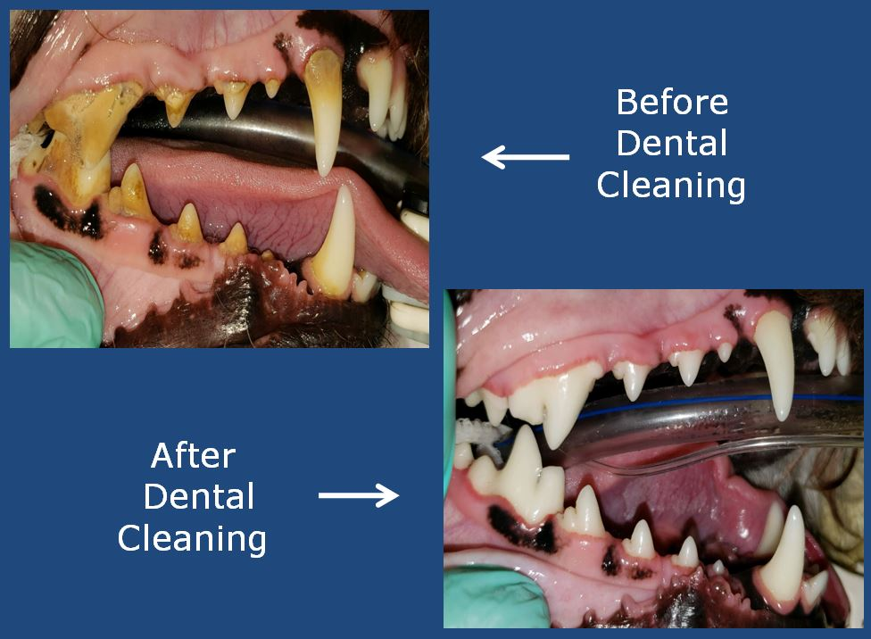 Veterinary Dentistry - Before and After